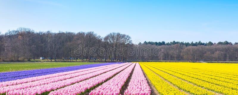 Nederlandse van de het gebieds kleurrijke bloem van de de lentehyacint het panoramaachtergrond royalty-vrije stock foto's