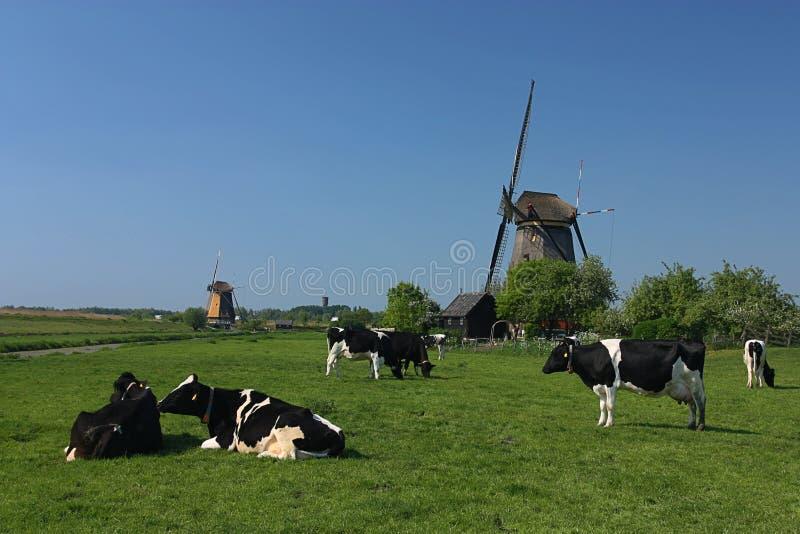 Nederlandse windmolen en koe stock foto
