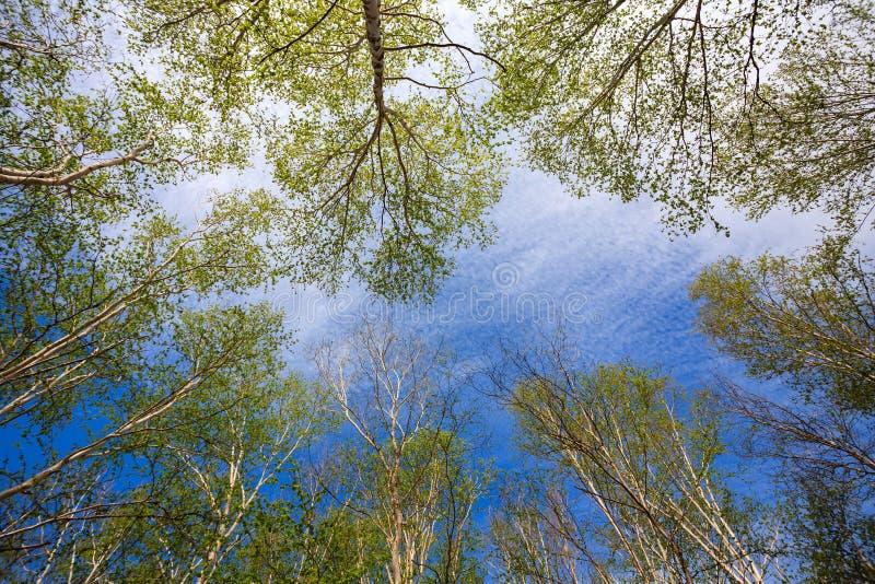 Nedersta sikt av högväxta björkar i lövfällande träd för Kamchatka skog på bakgrunden för blå himmel royaltyfri fotografi