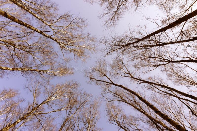 Nedersta sikt för djungelskogträd i höstvinter med filialer utan sidor på en parkera i för himmelnatur för molnig dag en grå bakg royaltyfria foton