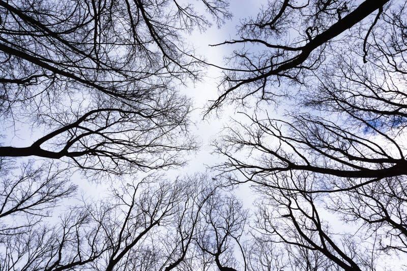 Nedersta sikt för djungelskogträd i höstvinter med filialer utan sidor på en parkera i för himmelnatur för molnig dag en grå bakg arkivbild