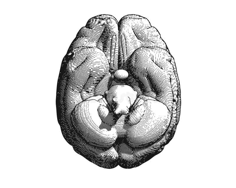 Nedersta sikt för gravyrhjärnillustration på vit BG stock illustrationer