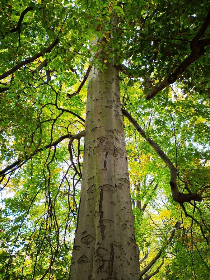 Nedersta skott av det höga härliga skälva egyptisk huggormträdet i Tiergarten i Berlin på höstdagen, Tyskland arkivbild