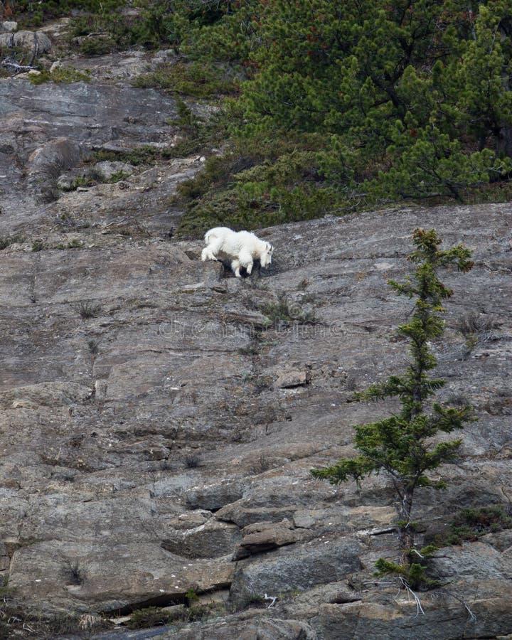Nedgående klippa för bergsfår royaltyfria bilder