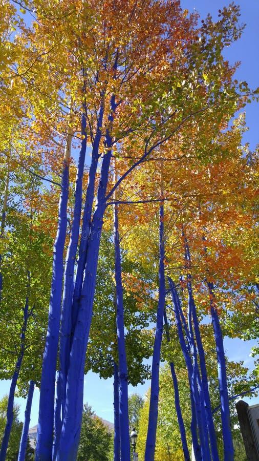 Nedgång Art Aspen Trees i Breckenridge Colorado arkivfoto