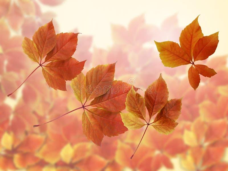 Nedgång Autumn Background Färgrika röda och orange höstsidor med solen rays fotografering för bildbyråer