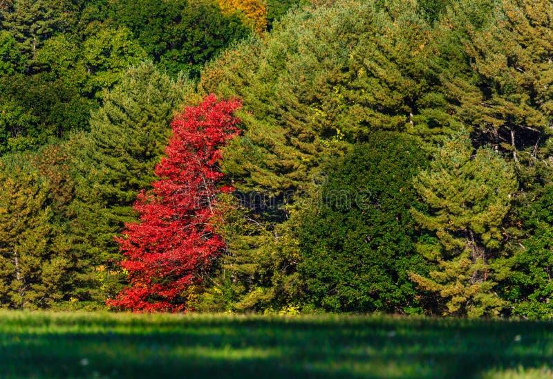 Nedgång Autumn Red Tree Leaves arkivbild