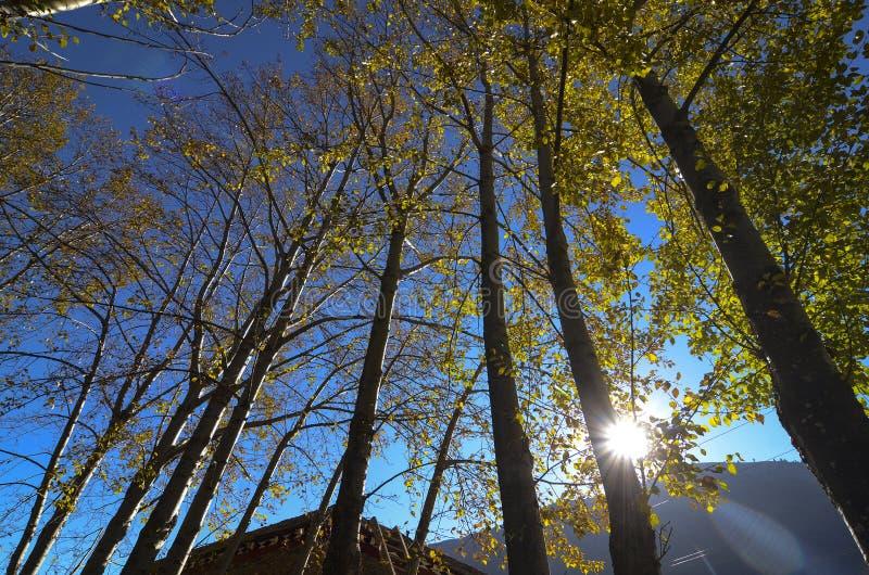 NedgångAutumn Colors Maple Tree Yellow sidor arkivfoto