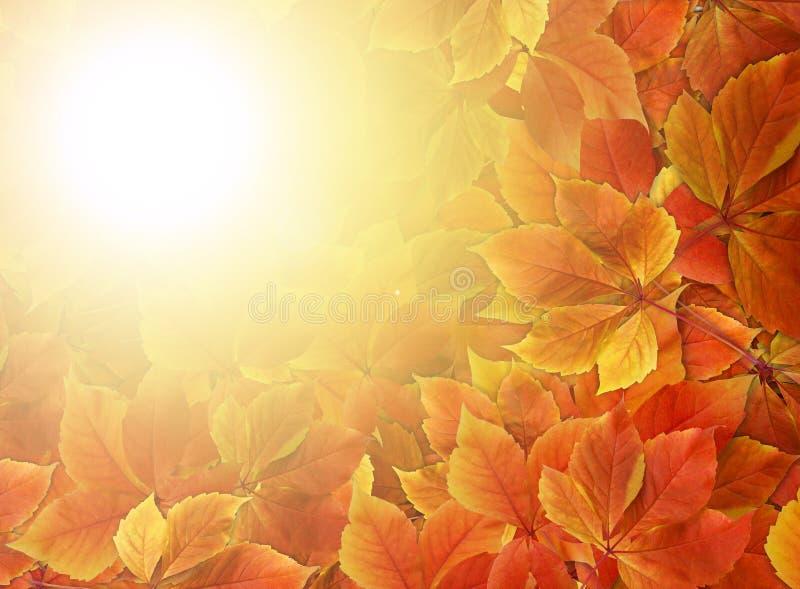 Nedgångbakgrund Färgrika röda och orange höstsidor med solstrålar och kopieringsutrymme royaltyfria bilder
