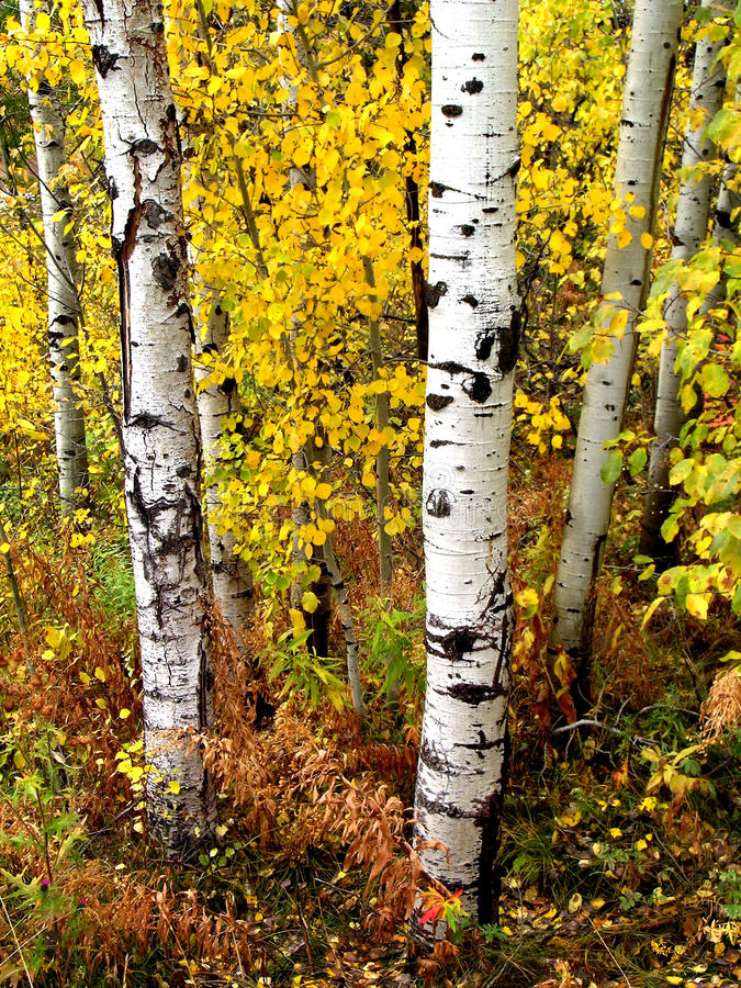 Nedgångbjörkträd med Autumn Leaves i bakgrund arkivbild