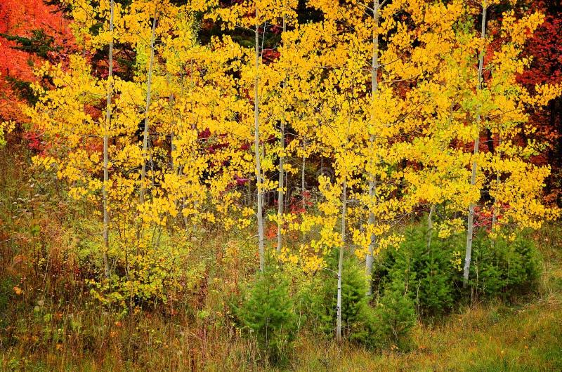 Nedgångbjörkträd med guld- sidor arkivbilder