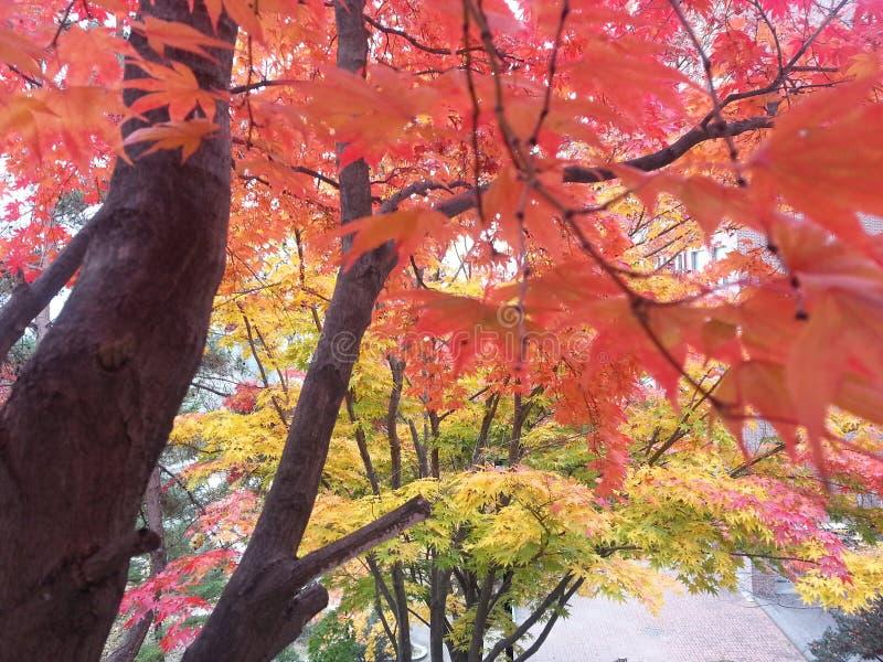 Nedgångfärg med lönnträd royaltyfria foton