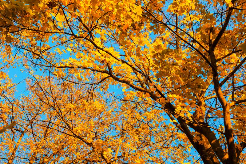 Nedgångträdbakgrund - lönnträdfilialen med orange lövverk tände vid solsken, soligt nedgånglandskap i ljust solljus royaltyfri bild