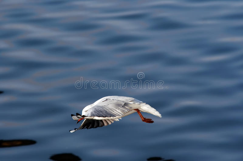 Nedslag - flygfiskmås royaltyfri foto