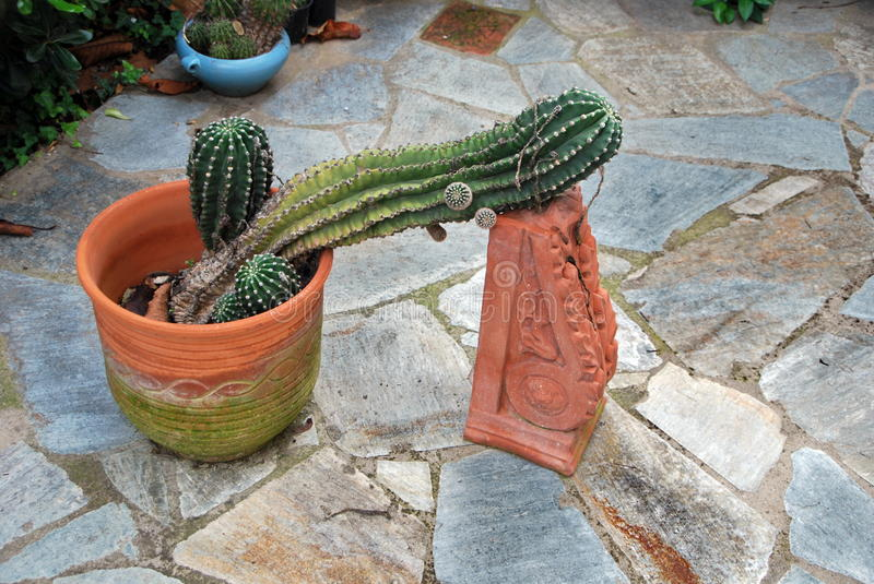Clever idea to keep a cactus from collapsing royalty free stock images