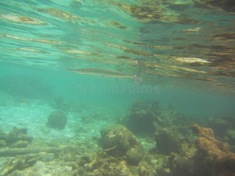 Needle fish Belonidae swimming below water surface over a coral reef stock photo