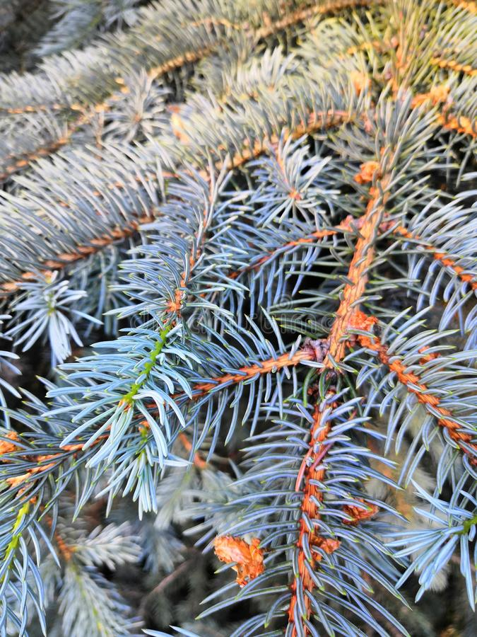 Needles on blue spruce branches Christmas background stock photo