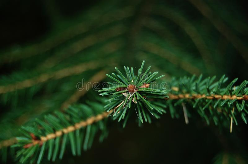 Needles that is green. stock image