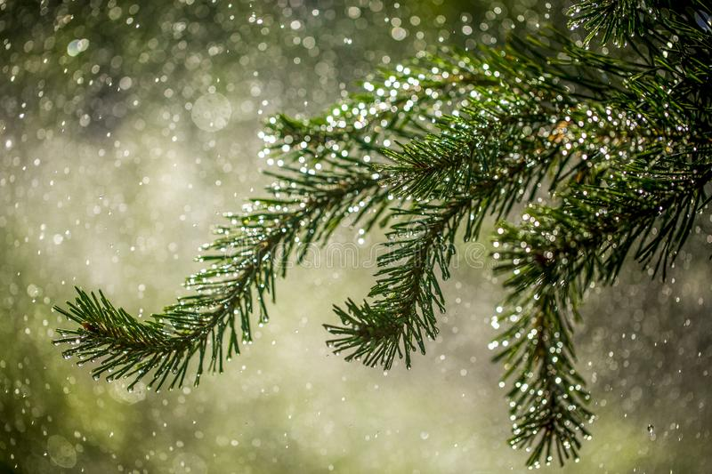 Needles of pine branches on the background of splashing water royalty free stock photo