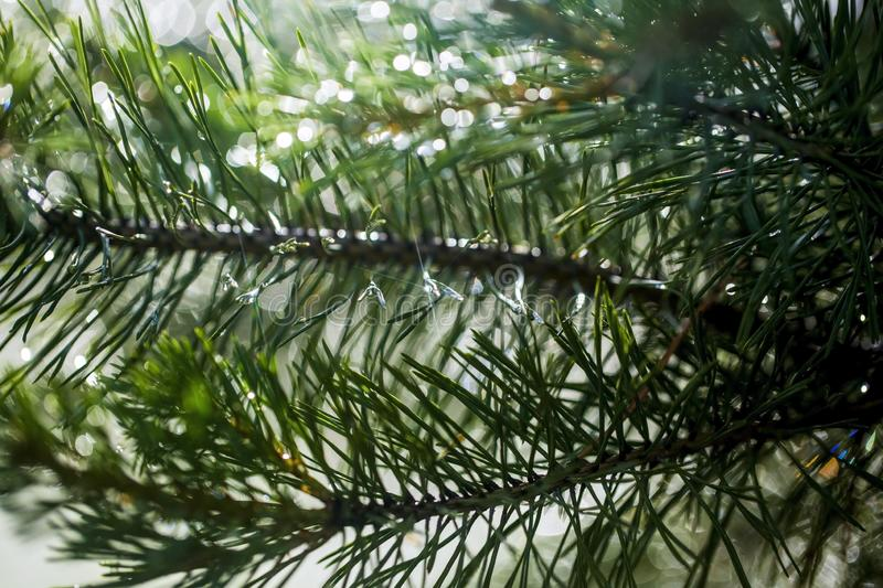 Needles of pine branches on the background of splashing water stock photography