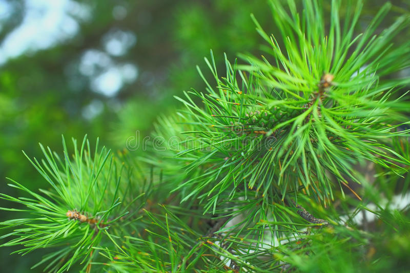 Needles of the pine tree macro.  royalty free stock photo