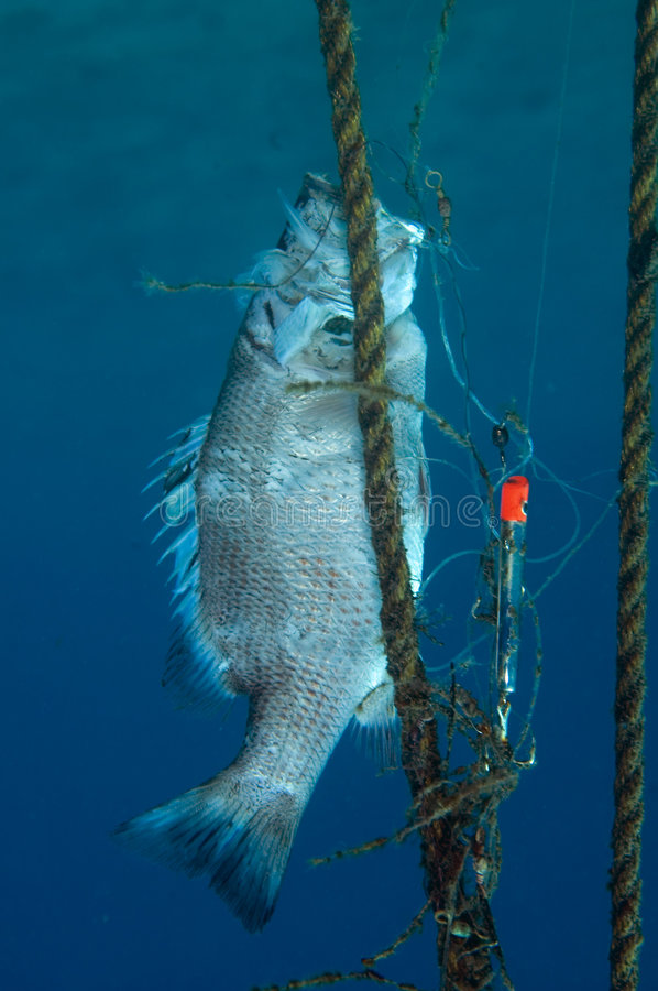 Needless Waste. Gray Snapper Tangled and Dead in fishing gear royalty free stock image