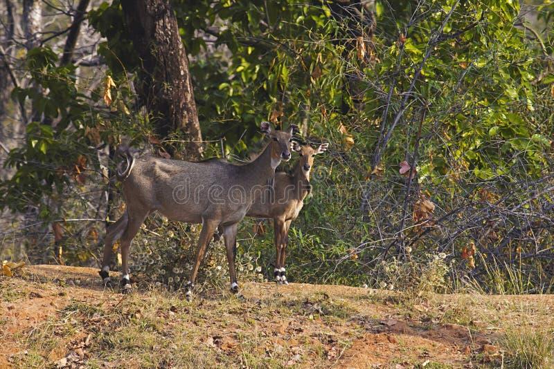 Neelgai female with calf, Bandhavgarh Tiger Reserve, Madhya Pradesh, India. Female Neelgai with calf, Bandhavgarh Tiger Reserve, Madhya Pradesh, India royalty free stock photos