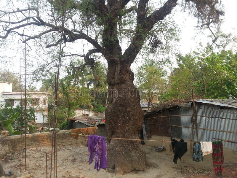 Neem-Baum Vhairob Para, Meherpur stockbild