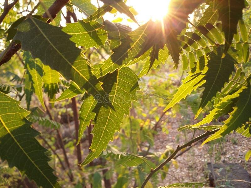 Neem-Blätter stockfotos