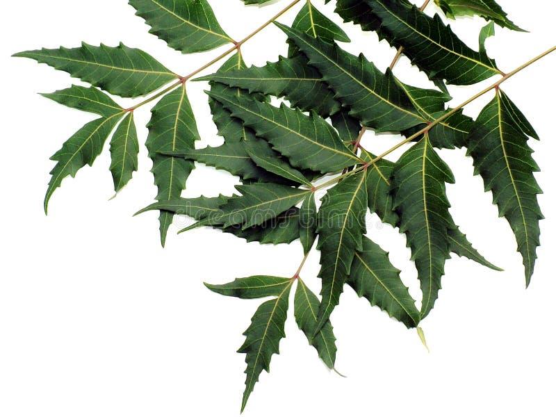 Neem Blätter stockfotografie