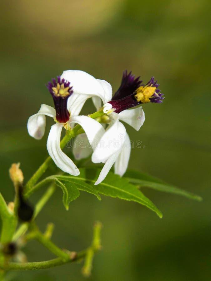 Neem blomma, Azadirachta som är indica som gemensamt är bekant som neem, nimtreen eller den indiska lilan, Thokkottu, Mangalore,  arkivfoto