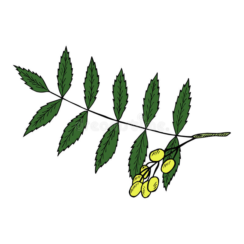 Neem in color royalty free illustration