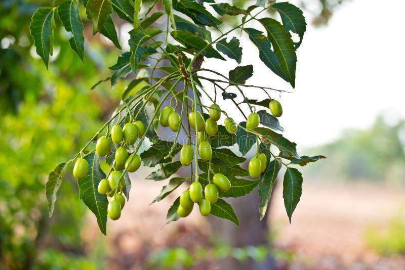 Neem indica zaad-Azadirachta stock afbeelding