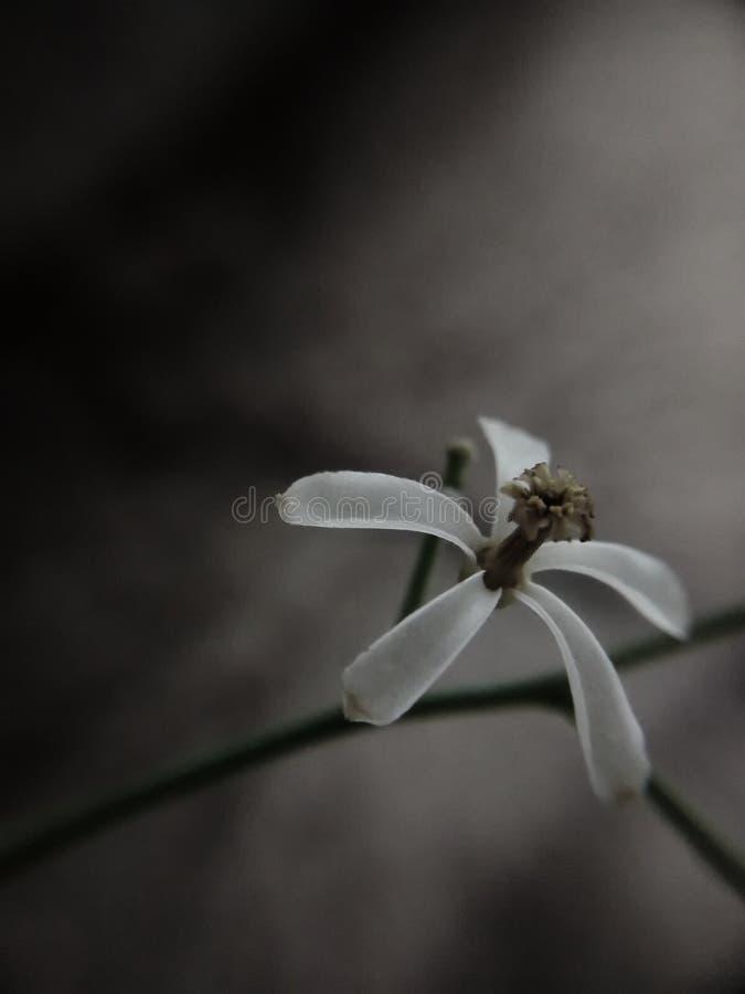 Neem kwiat odizolowywający obraz stock