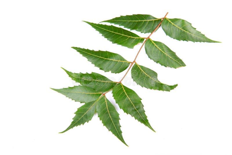Neem leaf stock photography