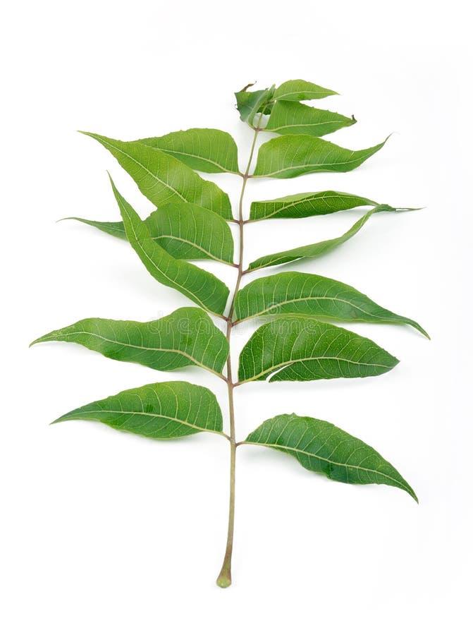 neem leaf royalty free stock photo