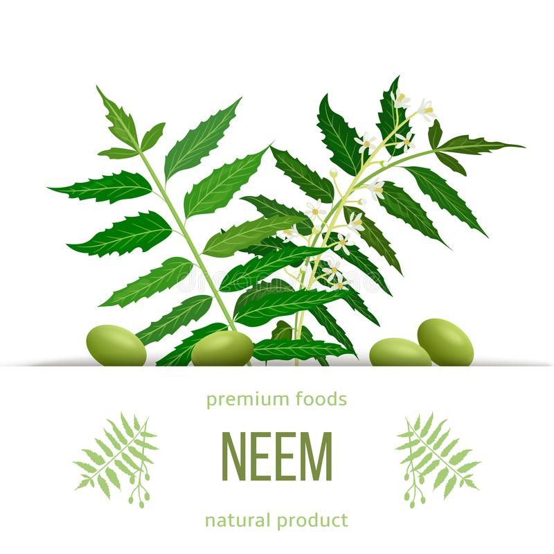 Neem leaf branch, flowers and pods. Ayurveda Herb template. Used for eye disorders, stomach upset vector illustration