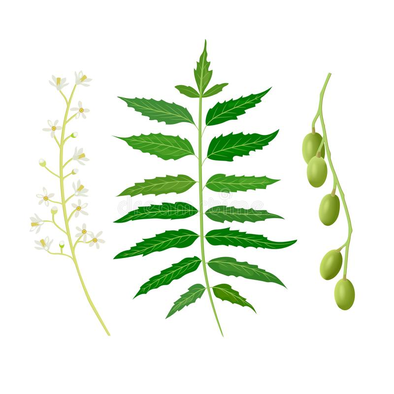 Neem leaf, fruits and flowers. Ayurveda Herb. used for eye disorders, stomach upset, loss of appetite, skin ulcers, vector illustration