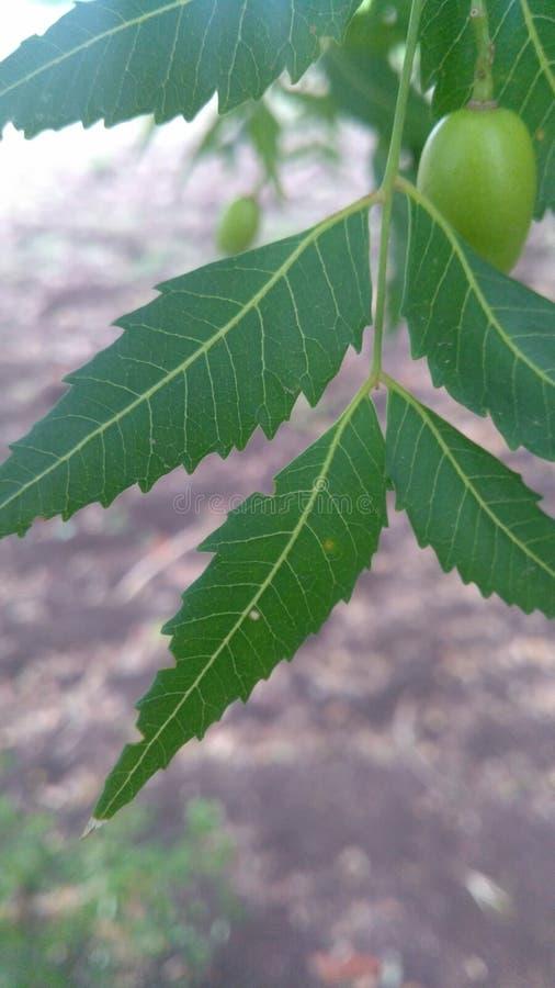 Neem leaf royalty free stock images