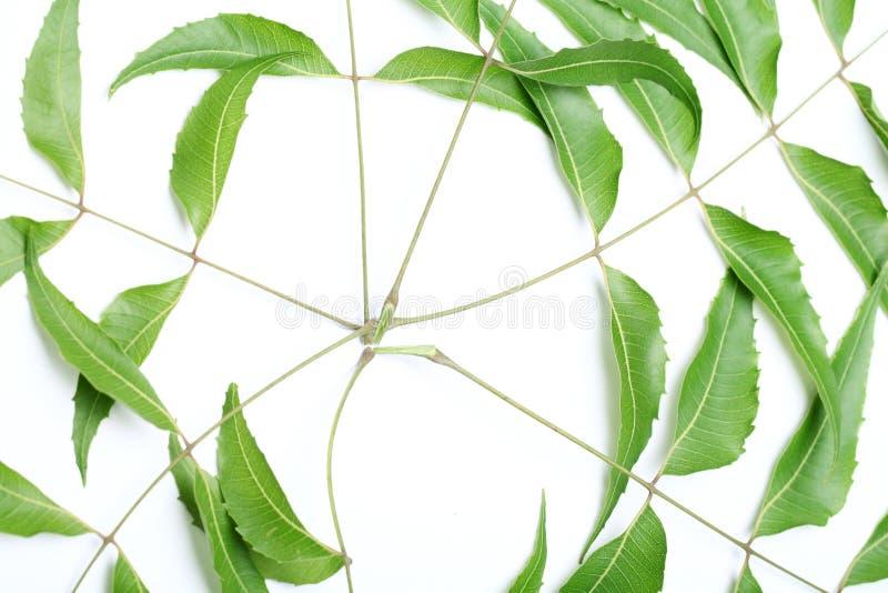 Download Neem Leaves-Azadirachta Indica Stock Image - Image: 24977269