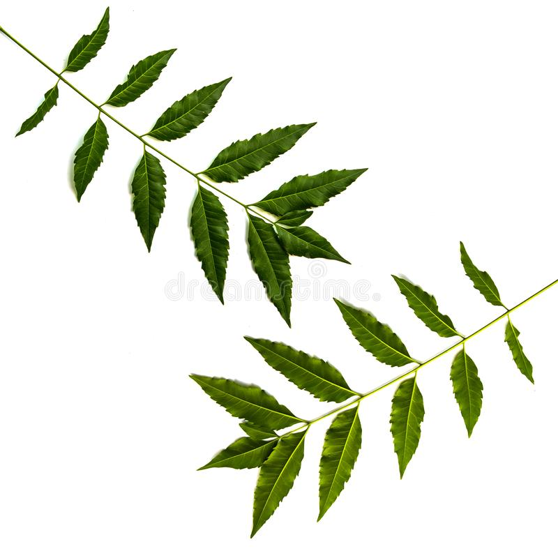Neem leaves used as ayurvedic medicine. Used in skin care, beauty products and creams royalty free stock photography