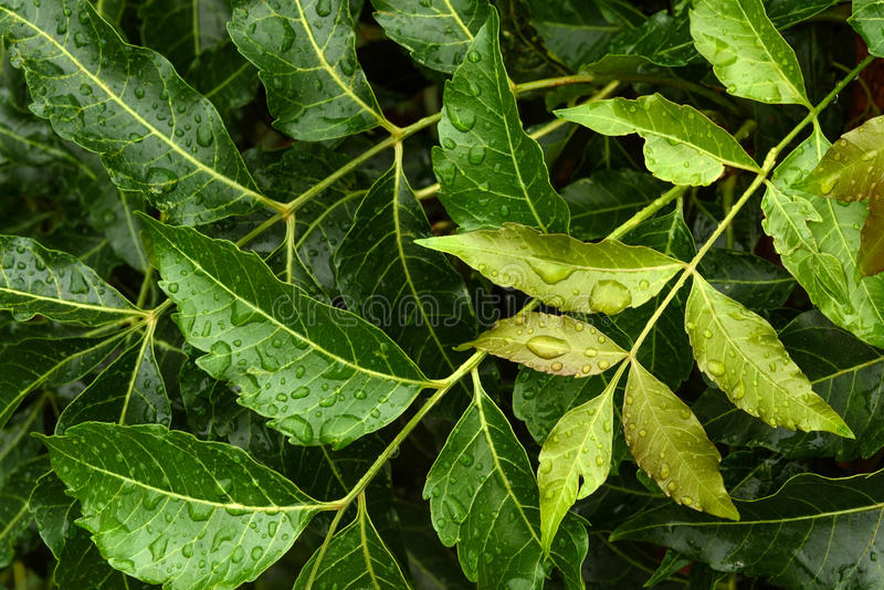 Neem leaves with water drop royalty free stock photo