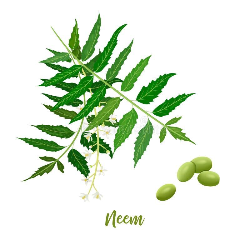 Neem liścia gałąź, kwitnie i połuszczy dla naturalnych kosmetyk?w, opieka zdrowotna produkty, aromatherapy, oliwi? ilustracji