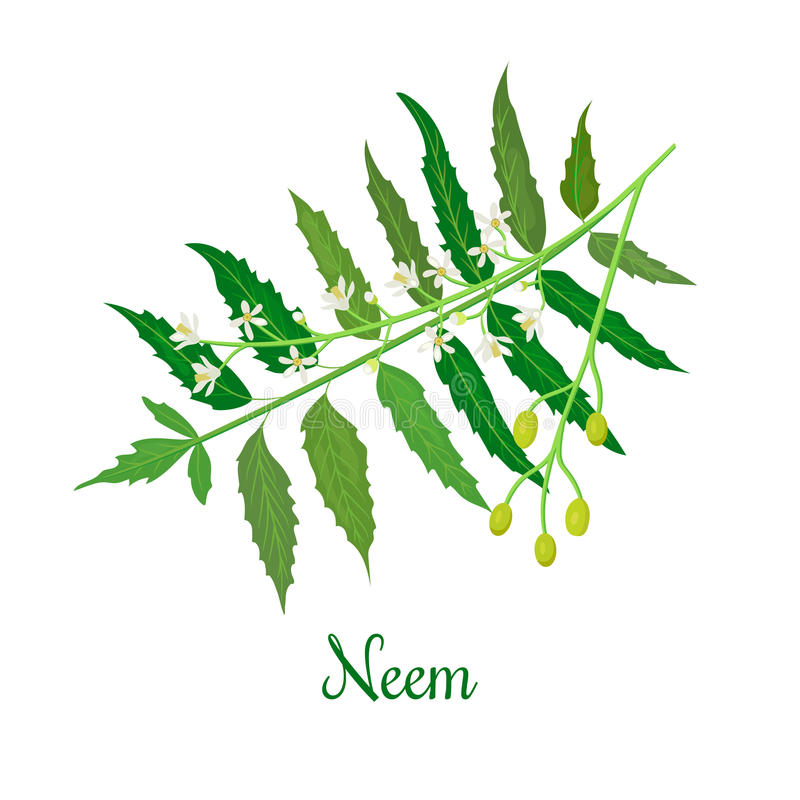Neem or nimtree. medicinal plant, twig, flowers and berries vector illustration