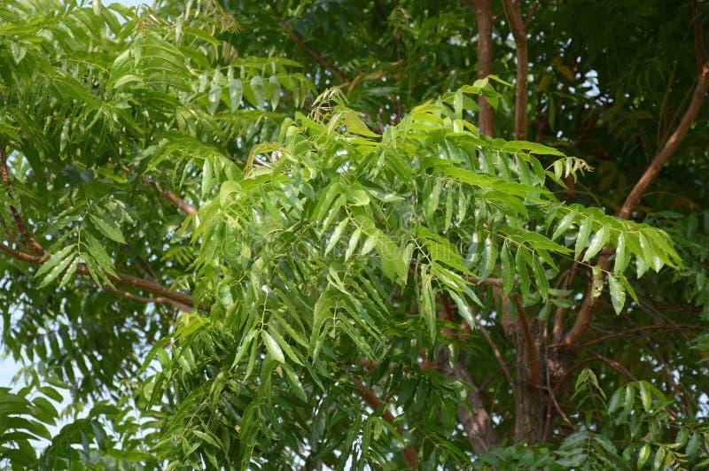 Neem planu drzewo w ogródzie obrazy royalty free
