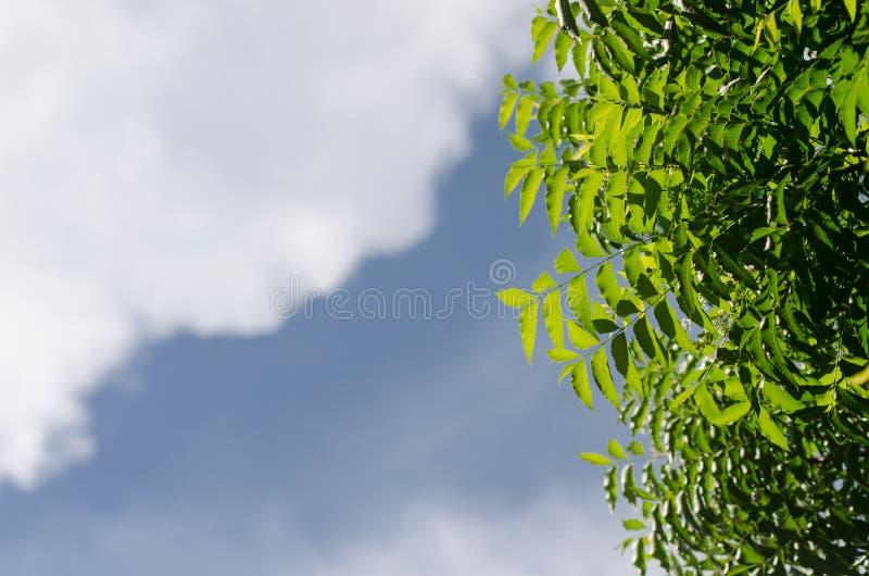 Neem roślina z ładnym niebem obraz stock