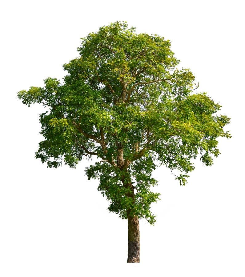 Neem träd royaltyfri bild