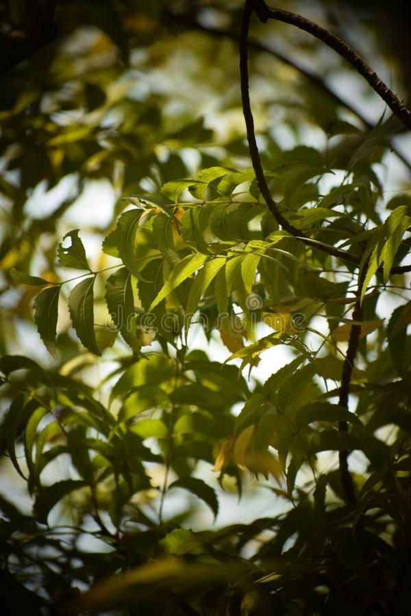 Neem plant and tree leafs stock image