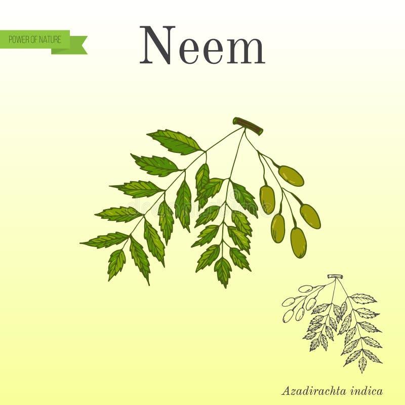 Neem tree, medicinal plant royalty free illustration