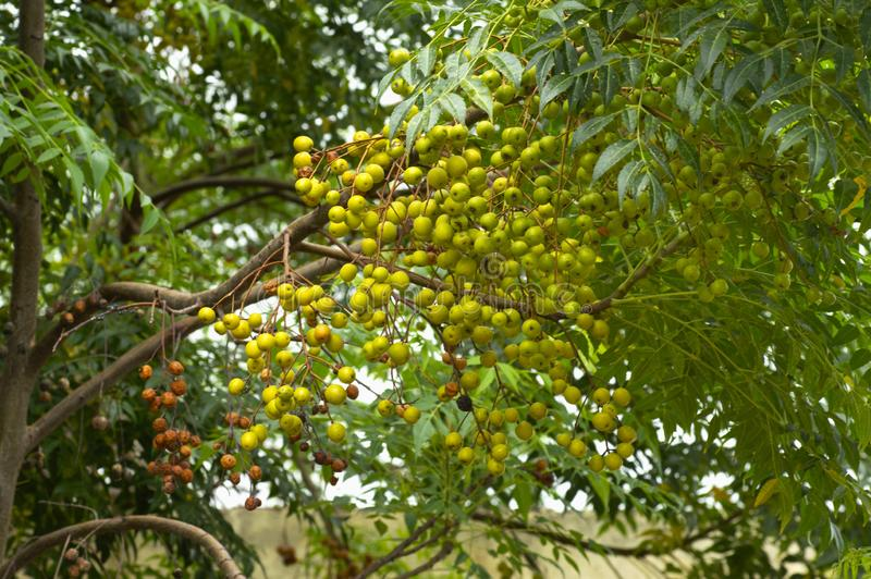 Neem tree natural medicine and fruit growing near Pune, Maharashtra. Neem tree natural medicine and fruit growing near Pune, Maharashtra royalty free stock images